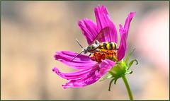Small Scoliid Wasp