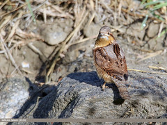 Eurasian Wryneck (Jynx torquilla)