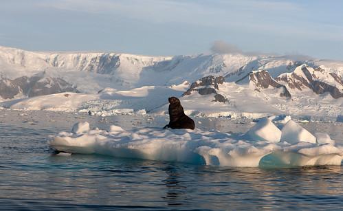 Antarctic Fur Seal, Charlotte Bay