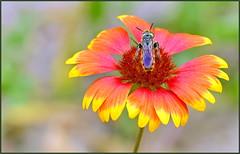 Scoliid Wasp Jr.