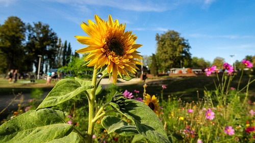 Sonnenblume in der Landschaft