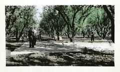 [CALIFORNIA-J-0048] Durham almond orchard