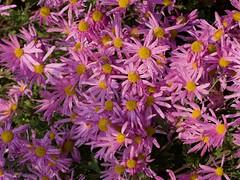 Chrysanthemum rubellum 'Clara Curtis' (Heirloom) Photo by F.D.Richards, SE Michigan, 9/2020