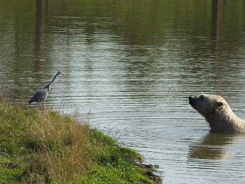 The Heron and the Polar Bear