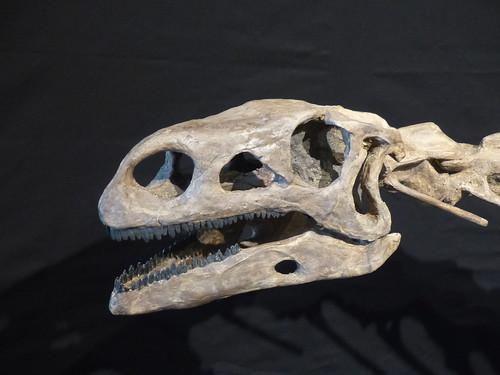 Kopf eines Plateosaurus