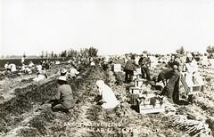 [CALIFORNIA-J-0021] El Centro carrot harvest
