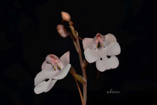 Photo:Habenaria carnea By abiom.orchid3