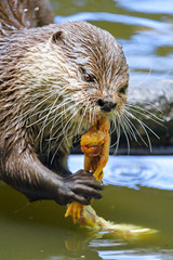Otter eating a chicken I