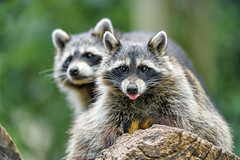 Two cute raccoons