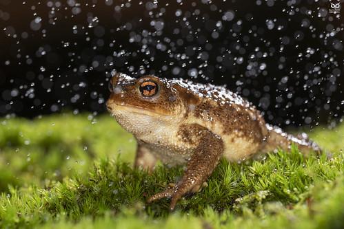 Sapo-comum-iberico, Common Toad (Bufo spinosus)