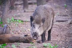 Wild boars | September 23, 2020 | Eekholt - Großeaspe - Schleswig-Holstein - Germany