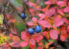Blueberries after frosty night