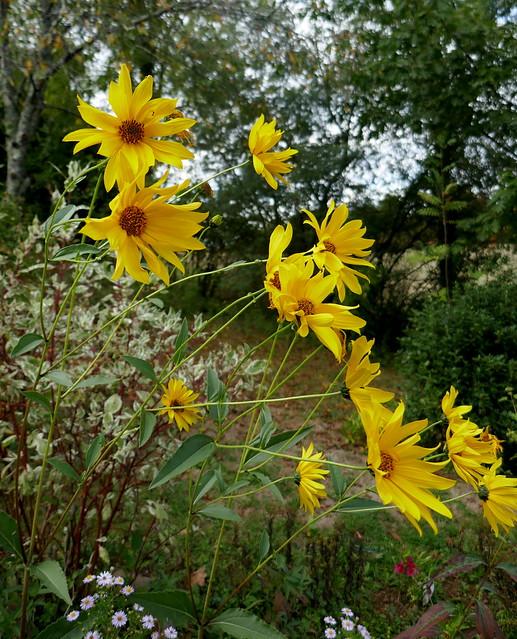 Photo:Au jardin, les fleurs de l'automne, topinambour (Helianthus tuberosus), Bosdarros, Béarn, Pyrénées Atlantiques, Nouvelle-Aquitaine, France. By byb64