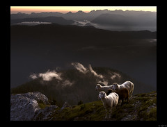 4 Tyrolean mountain sheep on the Stoderzinken (2,048m) at sunrise.