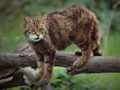 I'm no Lap-Cat.