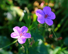 IMG_1817 Sticky Geranium, Wasatch National Forest