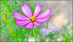 Tiny Bees Love Cosmos