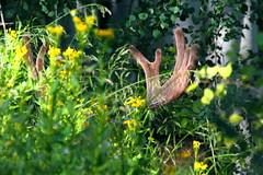 IMG_5516 Bull Moose, Mount Olympus Wilderness