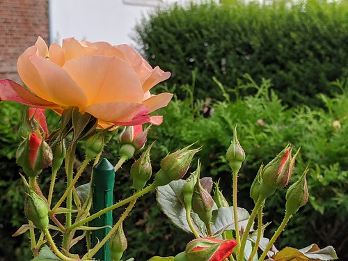 Salmon-colored rose