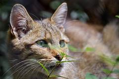Another wildcat portrait