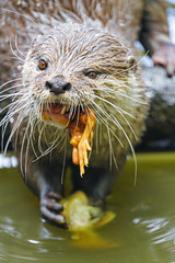 Otter eating a chicken III