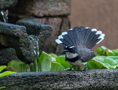 Philippine Pied Fantail, taken in my garden