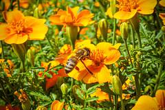 Noch ne Biene