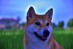 寵物-柴犬