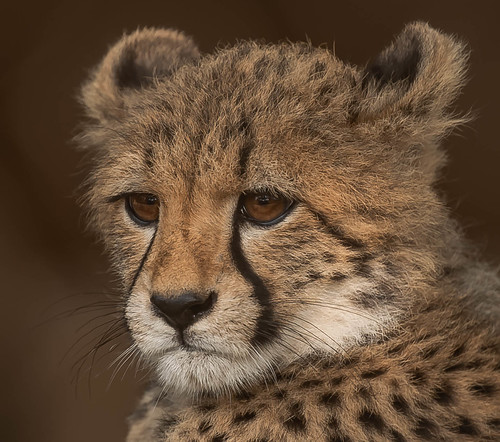 Maggie- Cheetah