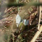 Aves e insectos en las lagunas de La Guardia (Toledo) 26-9-2020
