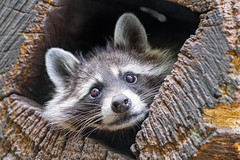 Raccoon in the log