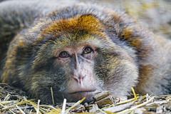 Flat macaque
