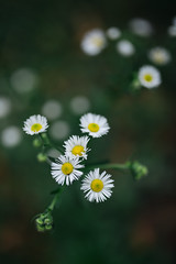 Beautiful camomile flowers from above.