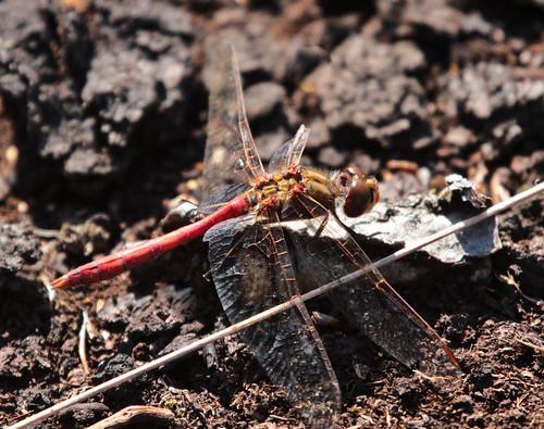 Blutrote Heidelibelle (m) (Sympetrum sanguineum)