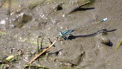 Male Common Bluetail