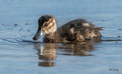 Lake Macquarie birds