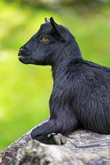 Profile of a black goat