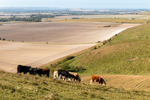 Cattle grazing on the North Wessex Downs