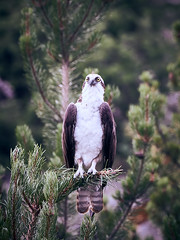 Osprey, Yellowstone
