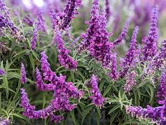 My own Mexican Sage!