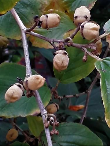 Hamamelis mollis x japonica (Hamamelis x intermedia) (2)