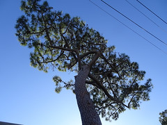 Tree in Synch with Telegraph Wires