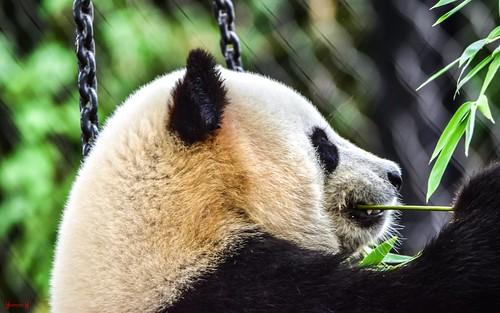 #panda - 8916
