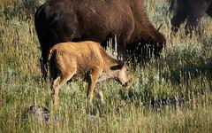 Little Bison, Grand Teton