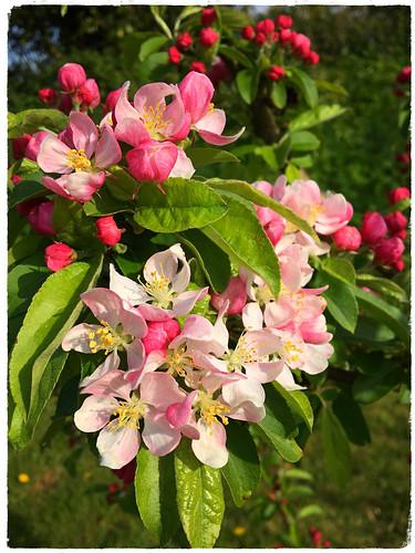 Crab Apple blossom (Explored)