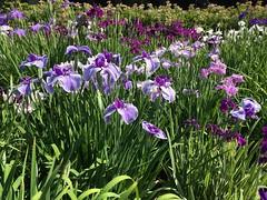 Horikiri Iris Garden in Katsushika-ku