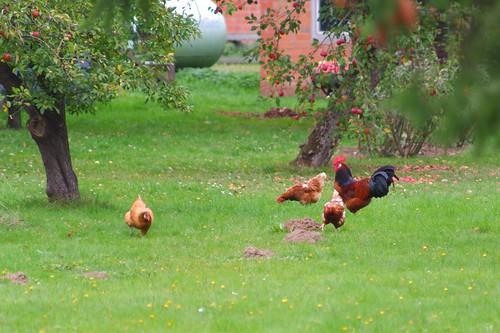 Happy chickens in the neighbor's garden | October 2, 2020 | Tarbek - Schleswig-Holstein - Germany