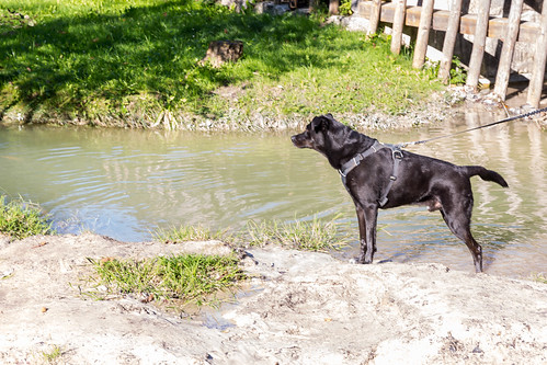 Black dog poses by the waters of a small stream on a sunny day near Kramsach, Tyrol, Austria