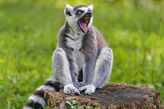 Yawning on the log