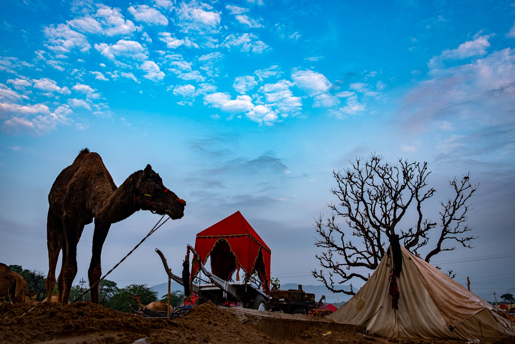 PushkarCamelFair19_144